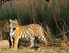 Spotting the striped beauty